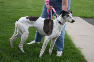 Mellie - 5 1/2 year old female from Chagrin Falls, Ohio