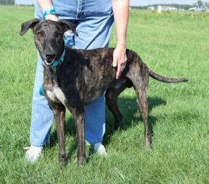 Connor is a 5 year-old brindle boy looking for a Forever Home or Adoption Group